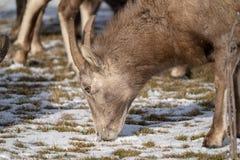 Sluit omhoog van een vrouwelijk ooi bighorn schaap die sneeuw behandeld gras in de winter eten stock afbeelding