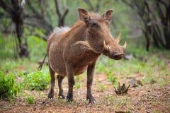 Sluit omhoog van een wild Afrikaans Wrattenzwijn stock afbeelding