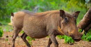 Sluit omhoog van een wild Afrikaans Wrattenzwijn royalty-vrije stock fotografie