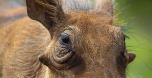 Sluit omhoog van een wild Afrikaans Wrattenzwijn royalty-vrije stock afbeelding