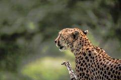 Sluit omhoog van een wilde Jachtluipaard Serengeti Stock Afbeelding