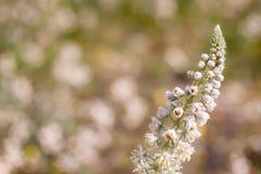 Sluit omhoog van een Wildflower met Bloemen en Knoppen alvorens zij tijdens de Lente bloeien Stock Foto