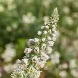 Sluit omhoog van een Wildflower met Bloemen en Knoppen alvorens zij tijdens de Lente bloeien Stock Afbeelding