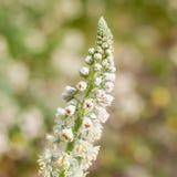 Sluit omhoog van een Wildflower met Bloemen en Knoppen alvorens zij tijdens de Lente bloeien Stock Foto's
