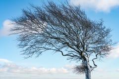 Sluit omhoog van een wind geblazen sneeuw behandelde boom tegen een blauwe hemel royalty-vrije stock foto