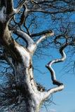 Sluit omhoog van een wind geblazen sneeuw behandelde boom tegen een blauwe hemel royalty-vrije stock foto's