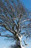 Sluit omhoog van een wind geblazen sneeuw behandelde boom tegen een blauwe hemel stock fotografie