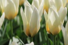 Sluit omhoog van een witte tulp Stock Afbeelding