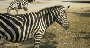 Sluit omhoog van een zebra stock videobeelden