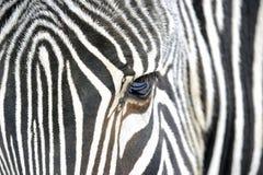 Sluit omhoog van een zebra Stock Foto