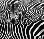 Sluit omhoog van een zebra met zijn kudde wordt omringd die Stock Fotografie