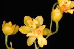 Sluit omhoog van een zeer kleine gele orchideebloem Royalty-vrije Stock Fotografie