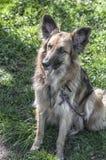 Sluit omhoog van een zitting van de herdershond dichtbij een weide royalty-vrije stock afbeelding