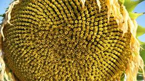 Sluit omhoog van een zonnebloembegin om de zaden te tonen stock foto