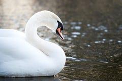 Sluit omhoog van een zwaan in het water Stock Foto