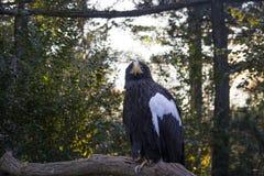 Sluit omhoog van een zwarte adelaar met een witte kleur op zijn vleugel zitting en het kijken in een camera met bomen op achtergr royalty-vrije stock foto's