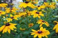Sluit omhoog van een zwarte eyed bloem van Susan in de tuin royalty-vrije stock afbeeldingen