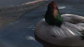 Sluit omhoog van eend op water stock videobeelden