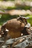 Sluit omhoog van eetbare porcinipaddestoel op het bos royalty-vrije stock afbeelding