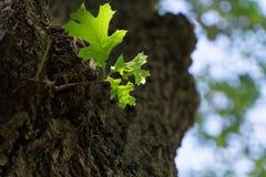 Sluit omhoog van eiken bladeren op een reuzeboom stock fotografie
