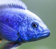 Sluit omhoog van Elektrische Blauwe Hap (Sciaenochromis-ahli) Cichlid stock fotografie