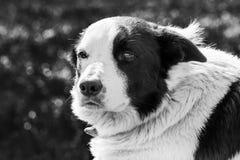 Sluit omhoog van Engelse Herdershond stock fotografie