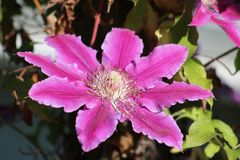 Sluit omhoog van enige bloem op een clematis stock fotografie