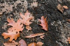 Sluit omhoog van esdoorn eiken dood blad liggend op rots met mos Stock Foto