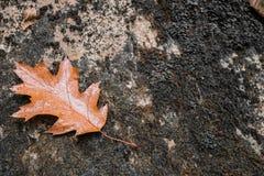 Sluit omhoog van esdoorn eiken dood blad liggend op rots met mos Royalty-vrije Stock Fotografie