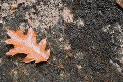 Sluit omhoog van esdoorn eiken dood blad liggend op rots met mos Stock Afbeeldingen