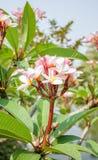 Sluit omhoog van frangipanibloem of Leelawadee-bloem Royalty-vrije Stock Afbeeldingen
