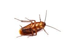 Sluit omhoog van kakkerlak op witte achtergrond wordt geïsoleerdt die Royalty-vrije Stock Foto