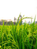 Sluit omhoog van geelgroen padieveld Royalty-vrije Stock Afbeeldingen