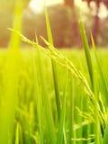 Sluit omhoog van geelgroen padieveld Stock Afbeeldingen