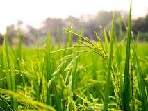 Sluit omhoog van geelgroen padieveld Royalty-vrije Stock Foto