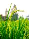 Sluit omhoog van geelgroen padieveld Stock Foto's