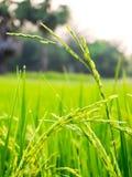Sluit omhoog van geelgroen padieveld Royalty-vrije Stock Fotografie