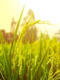 Sluit omhoog van geelgroen padieveld Stock Afbeelding