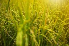 Sluit omhoog van geelgroen padieveld Rijst in zonsondergangtijd die wordt ingediend De rijst diende achtergrond in royalty-vrije stock foto's