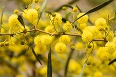 Sluit omhoog van gele acaciaboom op de aard Royalty-vrije Stock Afbeeldingen