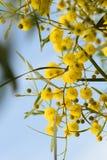 Sluit omhoog van gele acaciaboom op de aard Stock Foto