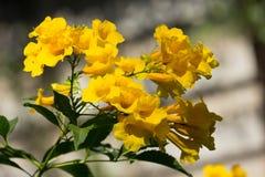 Sluit omhoog van Gele bloem, Gele ouder Stock Foto
