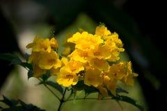Sluit omhoog van Gele bloem, Gele ouder Royalty-vrije Stock Foto's