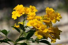 Sluit omhoog van Gele bloem, Gele ouder Royalty-vrije Stock Fotografie