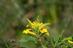 Sluit omhoog van Gele bloem, Gele ouder Royalty-vrije Stock Afbeeldingen