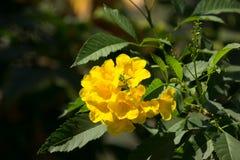 Sluit omhoog van Gele bloem, Gele ouder Stock Afbeelding