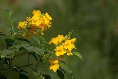 Sluit omhoog van Gele bloem, Gele ouder Royalty-vrije Stock Foto