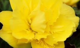 Sluit omhoog van gele Dahlia royalty-vrije stock fotografie