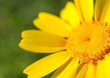 Sluit omhoog van Gele Daisy Flower tijdens de Lente Royalty-vrije Stock Afbeeldingen