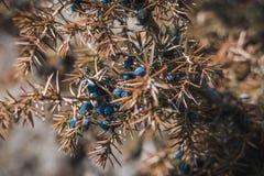 Sluit omhoog van Gele en Groene jeneverbessentakken Achtergrond met jeneverbessentakken Blauwe jeneverbessen in de lente Stock Afbeelding